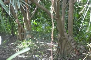 arbre bis