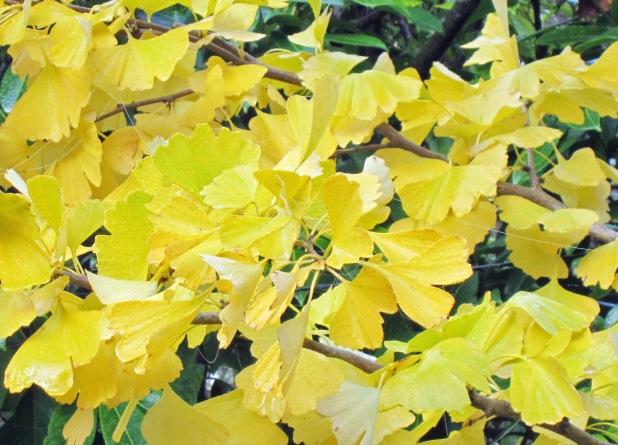 13 feuilles de gingko.jpg