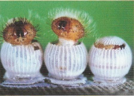 Photo 18 - Eclosion des chenilles des papillons de bananiers
