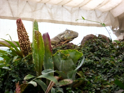 Photo 34 - L'iguane vert.JPG