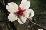 fleur d'argan